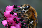 Anthophora bee (Hairy footed flower bee) gathering pollen from a heather flower