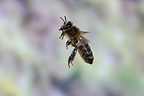 Honey bee in flight France