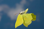 Common Brimstone butterfly in flight France