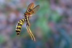 European paper wasp in flight France