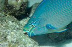 Queen parrotfish eating algae on dead coral