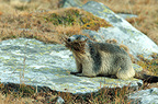 Alpine Marmot carrying grass to pad out its burrow, Italy