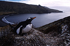 Gentoo Penguin with its chick in its nest, Crozet Islands, French Southern and Antarctic Lands.