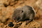European Pine Vole eating berries Dordogne France