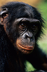 Bonobo Portrait Democratic Republic of Congo