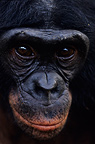 Seven-year-old male bonobo Portrait DR Congo