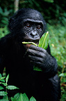 Three-year-old male bonobo eating a leaf DR Congo