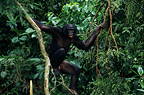 Seven-year-old male bonobo in undergrowth DR Congo