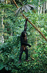 Male bonobo swinging from a liana DR Congo