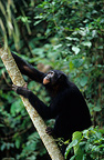 Seven-year-old male bonobo climbing a tree DR Congo