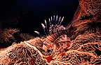 Devil firefish on a Gorgonian Sea Fan, Red Sea, Egypt