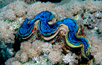 Maxima (giant) clam with valves closed Red Sea