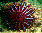 Crown-of-thorns starfish eating coral