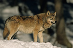 Eurasian (common grey) Wolf in the snow Germany
