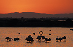 Colony of Greater Flamingos at sunset France