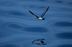 Yelkouan Shearwater flying over the Mediterranean Sea, France