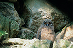 Young Eurasian Eagle-Owl on the rocks, France