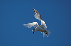 Sandwich Tern hovering for fishing France