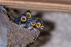 Barn Swallow chicks begging in their nest France