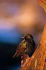 Common Starling perched on a branch France