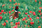 Male Common Pheasant  (Ring-necked Pheasant) in a tulip field France