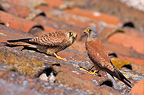 Pair of Lesser Kestrels perched on a roof, France