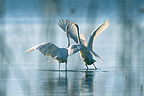 Great Egret courtship display Lake Neuchâtel Switzerland