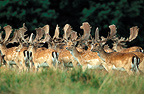 Herd of Fallow Deer in summer, Dyrehaven, Denmark