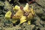 Warty Frogfish on the seabed Tahiti