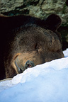 Eurasian brown bear sleeping in the snow Portrait Germany