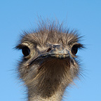 Ostrich Portrait South Africa