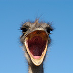 Ostrich yawning Portrait South Africa