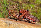 Grasshoppers mating South Africa
