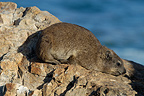 Rock Hyrax (Dassie), Hermanus, South Africa