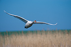Mute Swan in flight France