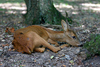 Sick female Roe Deer lying down Forest of Sénart France