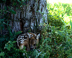 Roe Deer fawn camouflaged asleep at the foot of a tree, Scandanavia