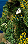 Northern Fulmar in its nest in a cliff Arnarstapi Iceland