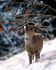 Roe deer buck eating rowan berries during winter, Germany