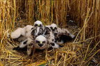Montagu's Harriers nesting in a barley field France