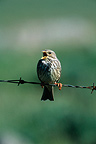 Corn Bunting in song on barbed wire France