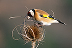 European Goldfinch feeding on teasel seeds France
