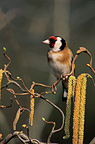 European Goldfinch perched on a branch France