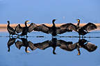 Great Cormorants drying their wings after fishing France