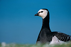 Barnacle Goose Portrait France