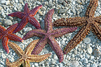 Starfish on a pebble beach Brittany France