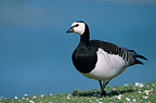Barnacle Goose on the ground France
