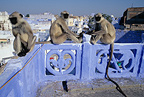 Northern plains grey langurs (Hanuman langur) sunbathing on a roof India