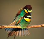 European Bee-eaters mating Southern France