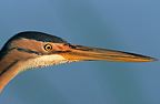 Purple Heron Portrait Southern France